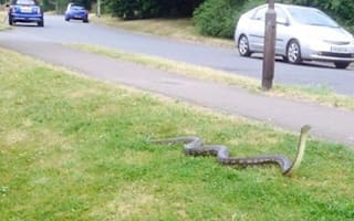 Panic as 10ft python on the loose in Kent