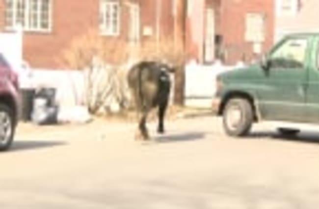 Police go on bull chase in New York
