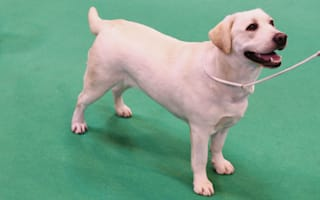 WATCH: Adorable puppy hounds England during training