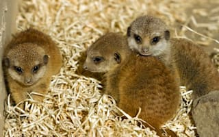 Three baby meerkats venture out at Edinburgh Zoo