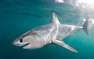 Thirty porbeagle sharks spotted off North Yorkshire coast during heatwave