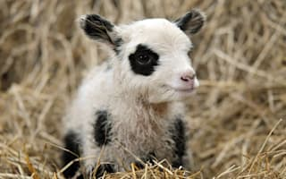 Move over Tian Tian and Yang Guang! Farmer breeds panda lambs