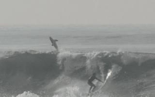 Great white shark breaches and photobombs surfer