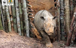 Rare Sumatran rhino dies just weeks after discovery in Borneo