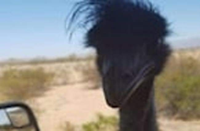 Emu Lassoed After it Won't Get Off Arizona Highway