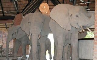Hotel guests get a treat as elephants invade safari lodge lobby