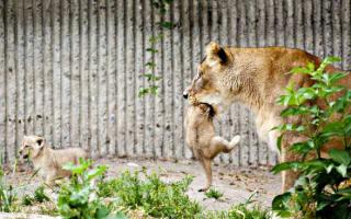 Danish zoo kills four lions - one month after shooting giraffe