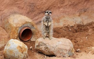 Edinburgh Zoo welcomes new family of meerkats