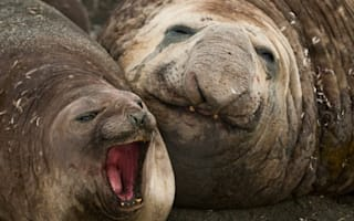 Elephant seal looks rather satisfied after securing 30-strong female harem