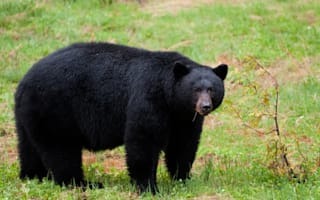 Severed black bear paw left on anti-hunt activist's lawn in New Jersey