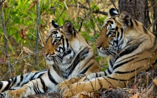 Which holiday company is saving the tiger?