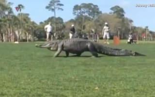 Alligator joins golf tournament in South Carolina
