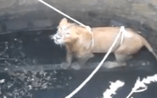 Dramatic rescue of lion stuck in 60ft well caught on video