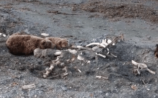 Bear vs eagle in fight over whale carcass (video)