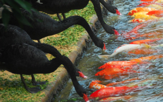 Black swans feed carp in amazing picture