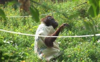 Orangutan makes onesie out of coffee bean sack