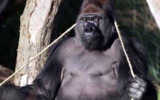 London Zoo gorilla escape: Wildlife group demands urgent probe