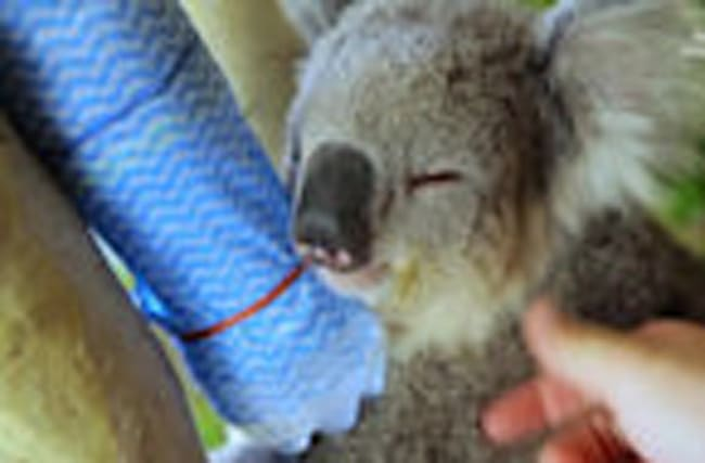 Koalas Know How to Cool Down