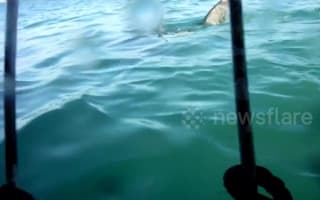 Tourists get close to great white shark in diving cage