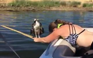 Woman saves osprey from lake