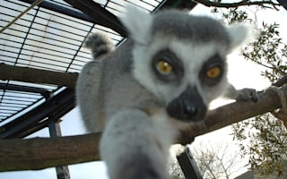 Lemur takes a selfie after stealing zookeeper's camera (photos)