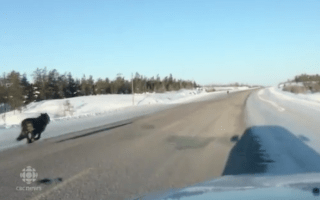 Black wolves chase motorist down deserted highway
