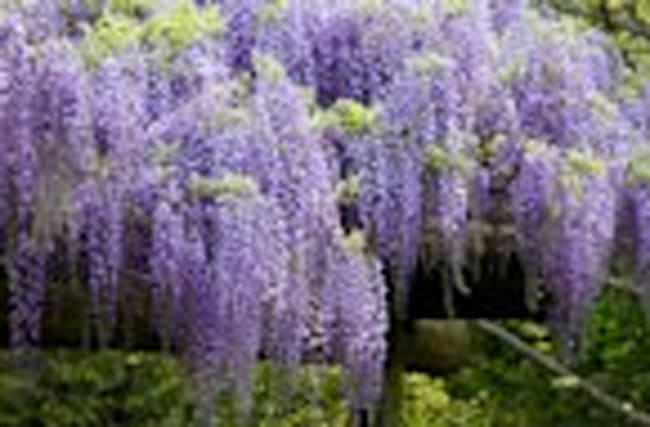 This Wisteria Flower Tunnel in Japan Is the Most Magical Place Ever
