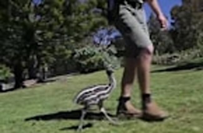 Emu Chick Goes for a Morning Run