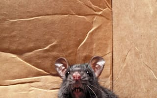 Super rats 'as big as cats' spotted in Liverpool