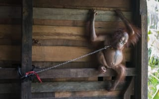 Baby orangutan rescued after six months chained by the neck