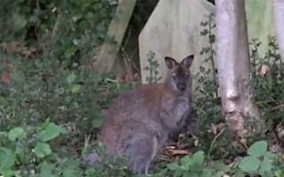 Wallaby spotted in London cemetery dies after operation