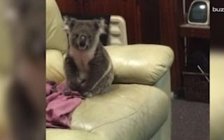 Couple arrives home to find koala relaxing on their sofa