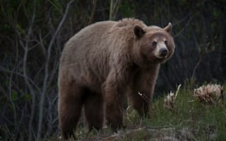 Animal trainer mauled to death by bears in Montana