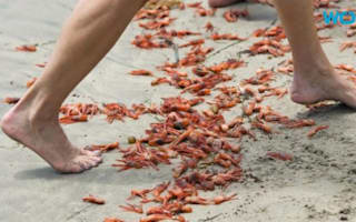 Red tuna crabs carpet Southern California beaches