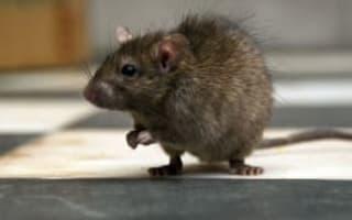 Rats 'could grow bigger than sheep'