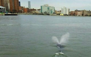 Humpback whale spotted in New York's East River