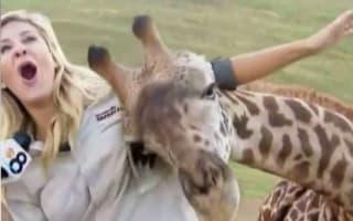 Giraffe gets friendly with news reporter