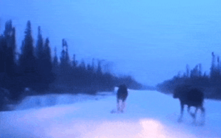 Driver avoids four fleeing moose with skilful snow driving