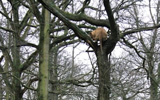 'Flying lion' leaps 30ft from tree in amazing pictures from Longleat Safari Park