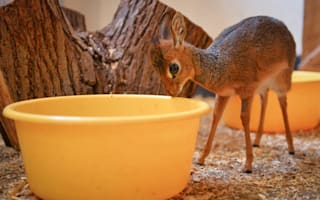 Tiny antelope playing 'mum' to even tinier baby brother