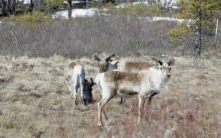'Freak' train crash kills 48 reindeer in Sweden