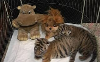 Video: Rare Siberian tigers born at Ukraine zoo