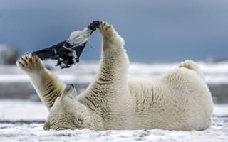 Pants! Polar bear plays with underwear in the Arctic