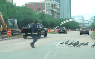 Kind-hearted motorist helps a dozen ducks to safety