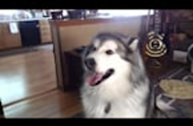 Talking Alaskan Malamute excited to go for visit