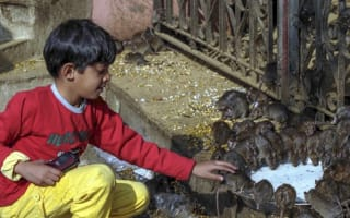 Inside India's rat temple where rodents are worshipped