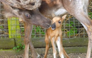 Adorable reindeer calf born at Dudley Zoo