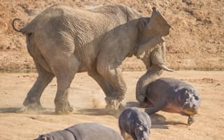Amazing pictures: Elephant flips HIPPO over in the air as she protects calf