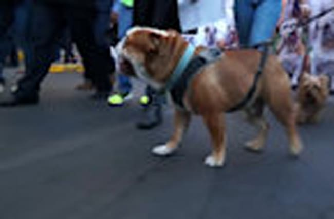 Bulldogs parade through Mexico City in hopes of world record
