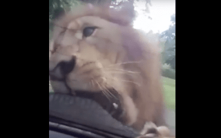 Lion caught chewing back of family SUV